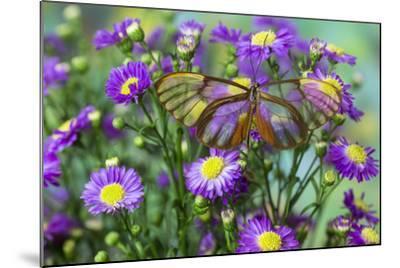 Glasswing Butterfly, Godyris Duilia-Darrell Gulin-Mounted Photographic Print
