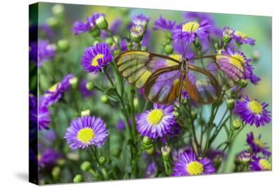 Glasswing Butterfly, Godyris Duilia-Darrell Gulin-Stretched Canvas Print