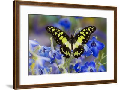 Electric Green Swallowtail Butterfly, Graphium Tyndereus-Darrell Gulin-Framed Photographic Print