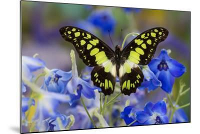Electric Green Swallowtail Butterfly, Graphium Tyndereus-Darrell Gulin-Mounted Photographic Print