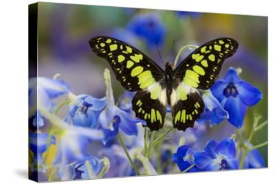 Electric Green Swallowtail Butterfly, Graphium Tyndereus-Darrell Gulin-Stretched Canvas Print