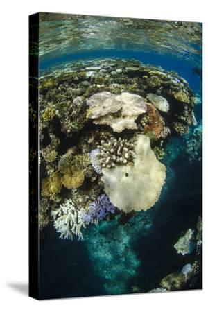 Coral Reef Diversity, Fiji-Pete Oxford-Stretched Canvas Print