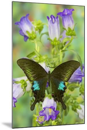 Common Peacock Swallowtail Butterfly, Papilio Polyctor-Darrell Gulin-Mounted Photographic Print