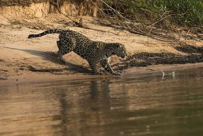 Jaguar (Panthera Onca) Female, Northern Pantanal, Mato Grosso, Brazil-Pete Oxford-Framed Photographic Print