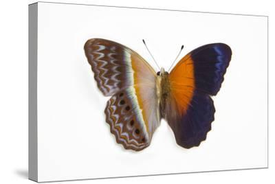 Cirrochroa Regina Butterfly Comparing the Top and Underside of Wings-Darrell Gulin-Stretched Canvas Print