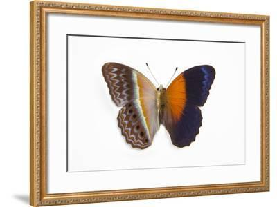 Cirrochroa Regina Butterfly Comparing the Top and Underside of Wings-Darrell Gulin-Framed Photographic Print