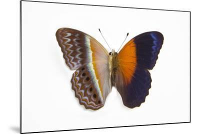 Cirrochroa Regina Butterfly Comparing the Top and Underside of Wings-Darrell Gulin-Mounted Photographic Print