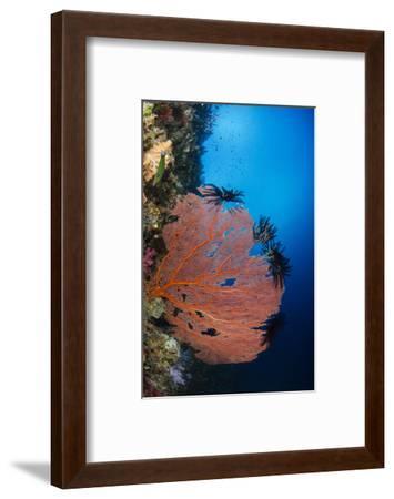 Sea Fan (Gorgonia) and Feather Star (Crinoidea), Rainbow Reef, Fiji-Pete Oxford-Framed Photographic Print