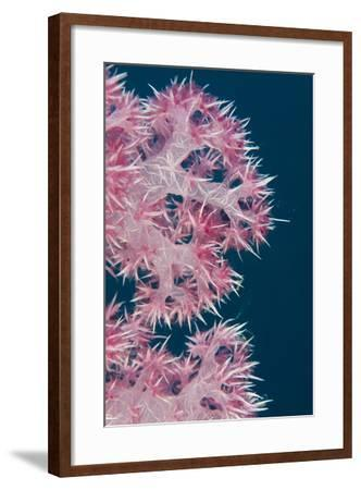 Soft Coral (Dendronephthya), Rainbow Reef, Fiji-Pete Oxford-Framed Photographic Print