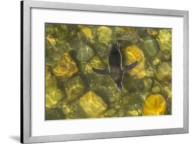 Chile, Patagonia, Isla Magdalena. Magellanic Penguin in Water-Cathy & Gordon Illg-Framed Photographic Print