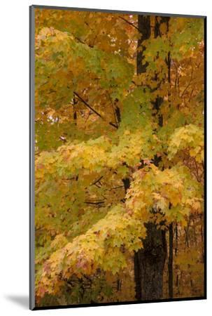 USA, Michigan, Upper Peninsula. Red Maple Trees in Autumn Color-Don Grall-Mounted Photographic Print