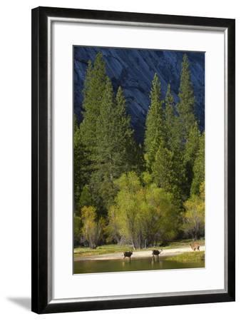 Mule Deer by Mirror Lake, Tenaya Canyon, Yosemite NP, California-David Wall-Framed Photographic Print