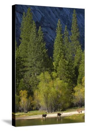 Mule Deer by Mirror Lake, Tenaya Canyon, Yosemite NP, California-David Wall-Stretched Canvas Print