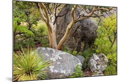 USA, Texas, Guadalupe Mountains NP. Scenic with Texas Madrona Tree-Don Paulson-Mounted Photographic Print