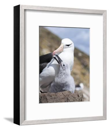 Mollymawk Chick with Adult Bird on Nest. Falkland Islands-Martin Zwick-Framed Photographic Print