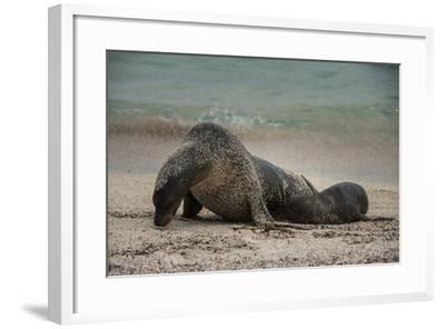 Galapagos Sea Lions Gardner Bay, Hood Island, Galapagos, Ecuador-Pete Oxford-Framed Photographic Print