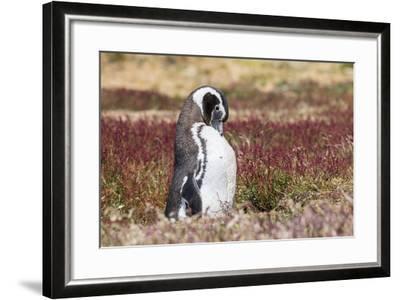 Magellanic Penguin, Portrait at Burrow. Falkland Islands-Martin Zwick-Framed Photographic Print