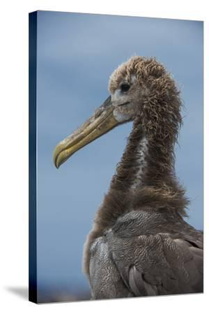 Waved Albatross Juvenile, Espanola Island, Galapagos Islands, Ecuador-Pete Oxford-Stretched Canvas Print