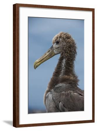 Waved Albatross Juvenile, Espanola Island, Galapagos Islands, Ecuador-Pete Oxford-Framed Photographic Print