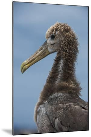 Waved Albatross Juvenile, Espanola Island, Galapagos Islands, Ecuador-Pete Oxford-Mounted Photographic Print