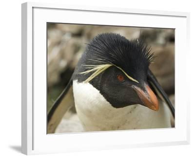 Falkland Islands. Portrait of Rockhopper Penguin-Ellen Anon-Framed Photographic Print