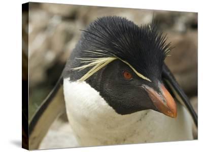 Falkland Islands. Portrait of Rockhopper Penguin-Ellen Anon-Stretched Canvas Print