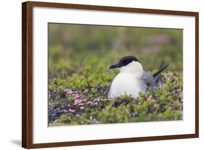 Long-Tailed Jaeger Sitting on Nest-Ken Archer-Framed Photographic Print