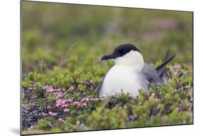 Long-Tailed Jaeger Sitting on Nest-Ken Archer-Mounted Photographic Print