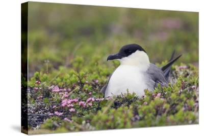 Long-Tailed Jaeger Sitting on Nest-Ken Archer-Stretched Canvas Print