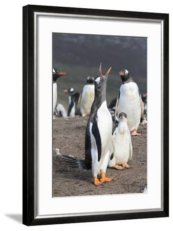 Gentoo Penguin on the Falkland Islands, Half Grown Chick with Parent-Martin Zwick-Framed Photographic Print