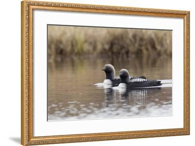 Pacific Loon Pair-Ken Archer-Framed Photographic Print