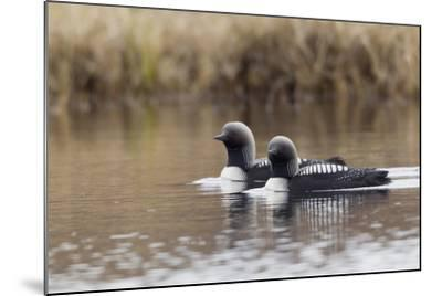 Pacific Loon Pair-Ken Archer-Mounted Photographic Print