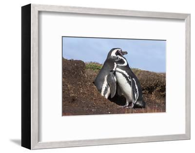 Magellanic Penguin, Pair at Burrow. Falkland Islands-Martin Zwick-Framed Photographic Print