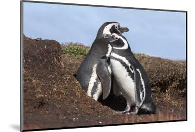 Magellanic Penguin, Pair at Burrow. Falkland Islands-Martin Zwick-Mounted Photographic Print
