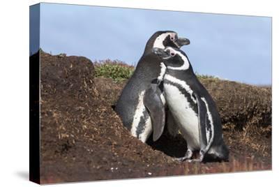 Magellanic Penguin, Pair at Burrow. Falkland Islands-Martin Zwick-Stretched Canvas Print