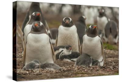 Falkland Islands, Bleaker Island. Group of Gentoo Penguins-Cathy & Gordon Illg-Stretched Canvas Print