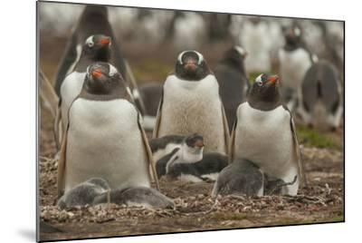 Falkland Islands, Bleaker Island. Group of Gentoo Penguins-Cathy & Gordon Illg-Mounted Photographic Print