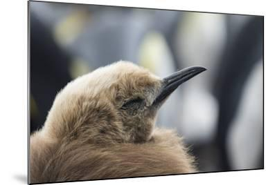Falkland Islands. King Penguin Chick in Typical Brown Plumage-Martin Zwick-Mounted Photographic Print
