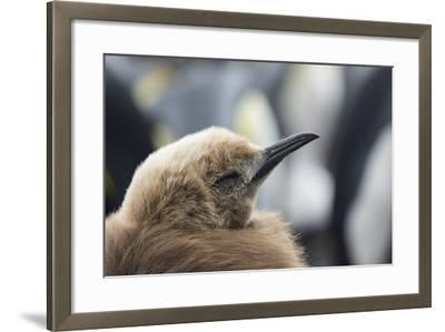 Falkland Islands. King Penguin Chick in Typical Brown Plumage-Martin Zwick-Framed Photographic Print