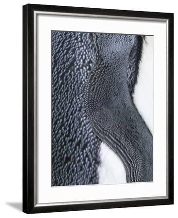King Penguin, Falkland Islands, South Atlantic. Detail of Wing of Fin-Martin Zwick-Framed Photographic Print