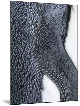 King Penguin, Falkland Islands, South Atlantic. Detail of Wing of Fin-Martin Zwick-Mounted Photographic Print