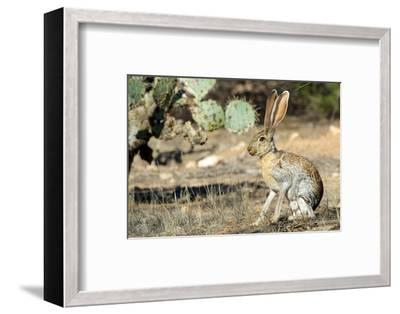 An Antelope Jackrabbit (Lepus Alleni) Alert for Danger-Richard Wright-Framed Photographic Print