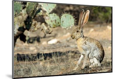 An Antelope Jackrabbit (Lepus Alleni) Alert for Danger-Richard Wright-Mounted Photographic Print