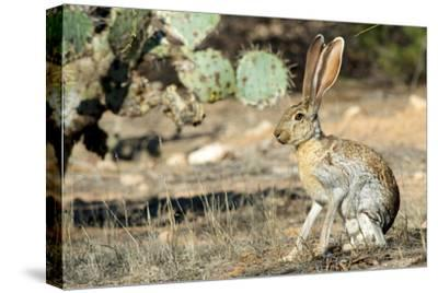 An Antelope Jackrabbit (Lepus Alleni) Alert for Danger-Richard Wright-Stretched Canvas Print