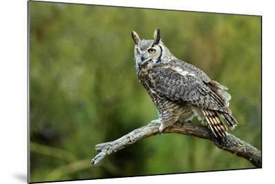 Great Horned Owl, also known as the Tiger Owl-Richard Wright-Mounted Photographic Print