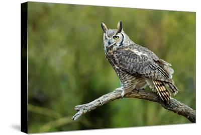 Great Horned Owl, also known as the Tiger Owl-Richard Wright-Stretched Canvas Print