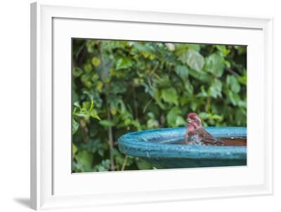 Purple Finch in a Backyard Pose Perched at the Edge of the Bird Bath-Michael Qualls-Framed Photographic Print