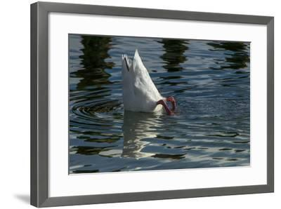 Coscoroba Swan, Torres del Paine, Patagonia. Magellanic Region, Chile-Pete Oxford-Framed Photographic Print