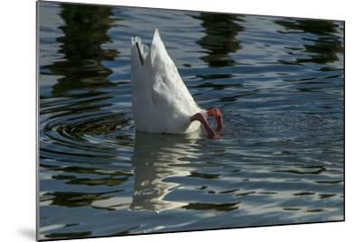 Coscoroba Swan, Torres del Paine, Patagonia. Magellanic Region, Chile-Pete Oxford-Mounted Photographic Print