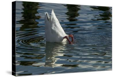 Coscoroba Swan, Torres del Paine, Patagonia. Magellanic Region, Chile-Pete Oxford-Stretched Canvas Print